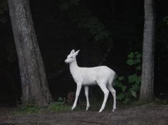 twofacedsheep:  Leucistic White-Tailed Deer.
