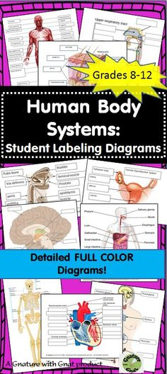 This product contains FULL COLOR, detailed illustrations of the human body systems. Each body system diagram worksheet includes: 1. System function 2. A full color illustration of the body system with blanks 3. A word bank to facilitate student understanding 4. A teacher answer key The body systems represented are: -INTEGUMENTARY -SKELETAL -MUSCULAR -RESPIRATORY -DIGESTIVE -CIRCULATORY -EXCRETORY -NERVOUS -ENDOCRINE -REPRODUCTIVE