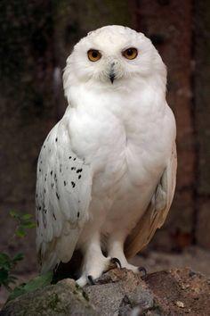 Large white owl. Hedwig?? #HPfan
