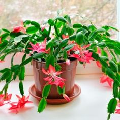 Top 10 Questions About Christmas Cactus Plants Indoor Cactus, Indoor Plants, Cacti And Succulents, Planting Succulents, Succulent Gardening, Clematis, Christmas Cactus Plant, Garden Archway, Garden Arbor
