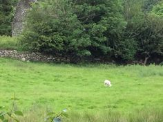 1 little sheep in the valley. Glendalough.
