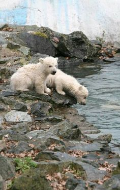 thirsty polar cubs