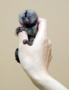 Marmoset monkey by floridapfe, via Flickr