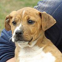 Niagara Falls, New York - Boxer. Meet Mocha (9 lb) Video, a for adoption. https://www.adoptapet.com/pet/21357273-niagara-falls-new-york-boxer-mix