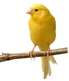 Canary-Back in the 60's this was a popular pet. I remember I wanted a dog, Mom got me a canary....LOL  I named him Ronnie, and he lived for 13 years. We had gone downtown in Cleveland and went to May Co. or Higbees, and bought him there. We didn't own a car yet, and I carried Ronnie home (in his little cardboard container) on the bus, while dad carried his cage and mom carried the stand....now wasn't that a site?
