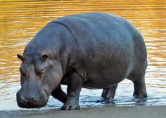 El hipopótamo común (Hippopotamus amphibius) es un gran mamífero artiodáctilo fundamentalmente herbívoro que habita en el África subsahariana. Es, junto al hipopótamo pigmeo (Choeropsis liberiensis), uno de los dos únicos miembros actuales de la familia Hippopotamidae.