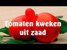 Tomaten kweken uit zaad - YouTube