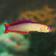 Image Result For Purple Firefish Marine Fish Purple Fish Pet
