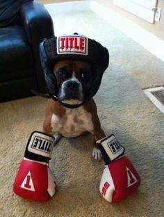 A boxer living up to it's name!