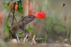 Petal power: a striped field mouse (Apodemus agrarius sierpien) in a cornfield Grzegorz Lesniewski
