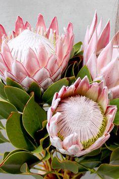 Flor Protea, Protea Art, Protea Flower, Ranunculus Flowers, Exotic Flowers, Tropical Flowers, Wild Flowers, Beautiful Flowers, Australian Flowers