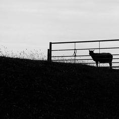 https://flic.kr/p/vq9eiv | Lamb | Somewhere in the fields Holland