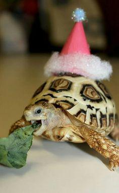 Leopard tortoise santa christmas