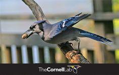 Feeding Birds In Winter, Sunflower Seeds, Blue Jay, Peanuts, Bird Feeders, Evergreen, Butterflies, Sky, Meals