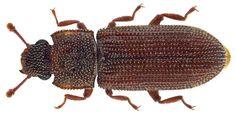 Family: Colydiidae (Zopheridae) Size: 3,3 mm Location: S-Thailand, Phang Nga Prov., Thimung Distr., 10 km E Khao Lak, Ton Chon Fah waterfall leg. A.Skale, 3.VIII.2007; det. Schuh, 2007 Photo: U.Schmidt 2016