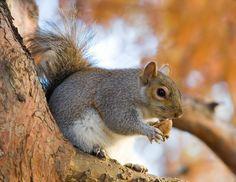 ENCUESTA: ¿Debe ser detenido la campaña de la confianza de la fauna hasta el faenamiento ardillas grises? »Centrándose en la Vida Silvestre