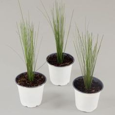 Add a unique texture to any landscape or garden by choosing this Cottage Farms Direct Muhly Pink Grass. Fescue Grass, Blue Fescue, Pampas Grass, Deer Resistant Annuals, Tall Ornamental Grasses, Dwarf Mondo Grass, Pink Grass, Fountain Grass, Grass Seed