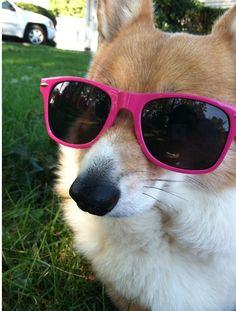 Corgi in sunglasses