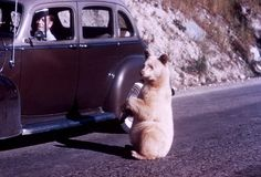 "malformalady: "" An albino black bear begging at car in Glacier National Park. By R. Robinson. """
