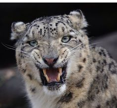 Panting Clouded Snow Leopard.