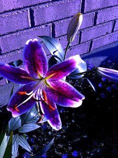 Purple stargazer lily pink stargazer lily purple and blue stargazer Unique Flowers, All Flowers, Types Of Flowers, Exotic Flowers, My Flower, Purple Flowers, Beautiful Flowers, Wedding Flowers, Lily Flower Tattoos