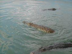 Crocodile Feeding Lake