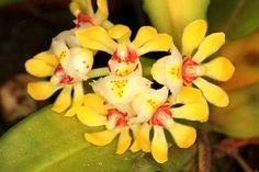Gastrochilus japonicus - Flickr - Photo Sharing!