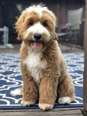 the Medium 4 month old Tuxedo Goldendoodle from Candy Doodles. Candydoodles-Maddi the Medium 4 month old Tuxedo Goldendoodle from Candy Doodles. Cute Dogs And Puppies, Pet Dogs, Dog Cat, Doggies, Cute Baby Animals, Animals And Pets, Funny Animals, Chien Goldendoodle, Cockapoo