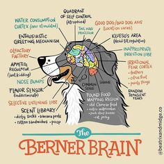 "2,584 Likes, 91 Comments - Bernese Mountain Dog Lovers (@bernesemountaindoglovers) on Instagram: ""Absolutely this cartoon of the Berner brain by @beatrixandmidge #bernesemountaindoglovers"""