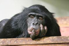 El autocontrol en un niño de tres años es similar al de un chimpancé / Noticias / SINC