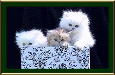 Silver & Golden Chinchilla Persian Cats & Kittens. Big Sky Purrs.