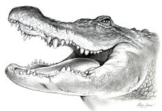 American Alligator Pencil Sketch by gregchapin.deviantart.com on @deviantART