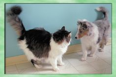 Sheltie pup confronts Kitty that is bigger than him!