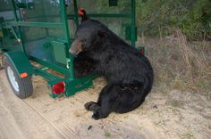 Bear Lost in Orlando Gets Free Ride to New Home      A young male Florida black bear that spent a couple of days in metropolitan Orlando was caught by our FWC biologists about 3 p.m. May 6, 2012 and released into the Ocala National Forest. PHOTO: Florida black bear groggily working his way out of the trap that FWC biologists used to transport him to the middle of the Ocala National Forest. Read more: http://myfwc.com/news/news-releases/2012/may/08/parramore-bear/
