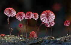 red-marasmius-mushrooms