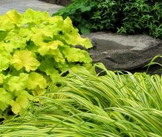Heuchera 'Citronelle' REALLY is this irridescent yellow in the garden, and it's been like this for years. Hakonachloa in the foreground. London Landscapes LLC