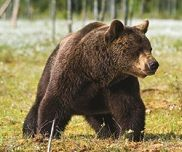 Brown bears can be found in Alaska's national parks.