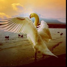 Swan, Life, Animals, Beautiful, Swans, Animales, Animaux, Animal, Animais