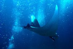 Manta ray diving in Krabi, Thailand