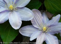 A duo of Clematis 'Silver Moon'. Grows in the shade.