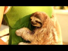 Holding a baby 3 toed sloth