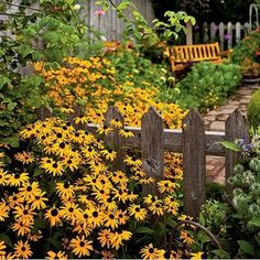 Black-eyed Susan and an unpainted picket fence.