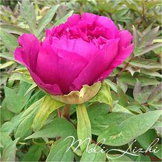牡丹  宮城野でも牡丹の花が咲きました 四種類の牡丹がありこの花が一番のお気に入り でも会社への出勤時にはまだ咲いていない  #牡丹#peon #모란 #花#フラワー#flower #blossom  The peony flowers in my garden bloomed. There are four-colored peony in my garden. I think the color of this flower is beautiful  내 정원 모란 꽃이 피었습니다. 4 색 모란이 내 정원에 있습니다. 나는이 꽃의 색깔이 아름다운 것  我的花園牡丹花盛開 四色牡丹可以在我的花園裡 我覺得花的顏色很漂亮  #やさい #野菜 #蔬菜