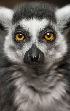 Ring-Tailed Lemur by WilliamTHornaday - Photo 96912217 / Rare Animals, Animals And Pets, Funny Animals, Strange Animals, Beautiful Creatures, Animals Beautiful, Pet Rats, Animal Faces, African Animals