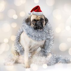 Merry Pugmas to all of you