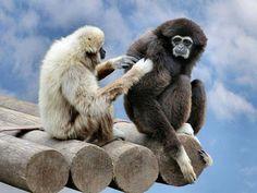 hehe monkey see monkey do