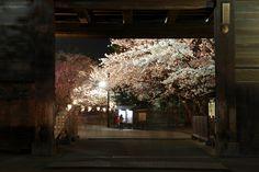 Hirosaki Cherry Blossom Festival APR. 30, 2014 | Flickr - Photo Sharing!
