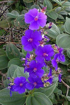 Flor do Cerrado ,