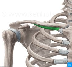 The subclavius is a small muscle that connects your clavicle and sternum at the Sternoclavicular (SC) joint. This joint impacts your shoulder placement. Shoulder Muscle Anatomy, Shoulder Muscles, Massage Tips, Massage Therapy, Muscle Names, Muscular System, Arm Muscles, Weight Loss Workout Plan, Anatomy And Physiology