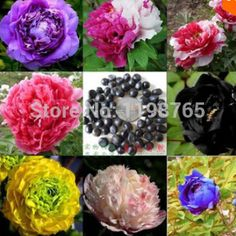 @@@best price10 seeds/bag 24 Colors Peony seeds Flower pots planters peonies seed  Bonsai plants Seeds for home
